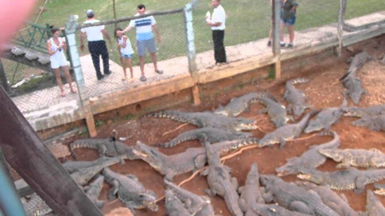 Крокодильи фермы: как и зачем выращивают крокодилов