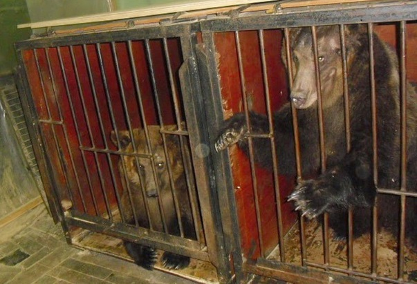 Шокирующие доказательства жестокого обращения с животными в цирках