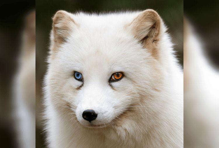 40 великолепных животных с разноцветными глазами